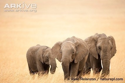 ARKive - African elephant videos, photos and facts - Loxodonta africana | practice | Scoop.it