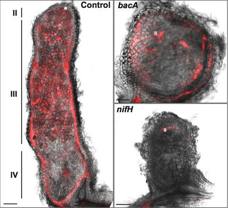 Peribacteroid space acidification: a marker of mature bacteroid functioning in Medicago truncatula nodules | bradyrhizobium diversity | Scoop.it