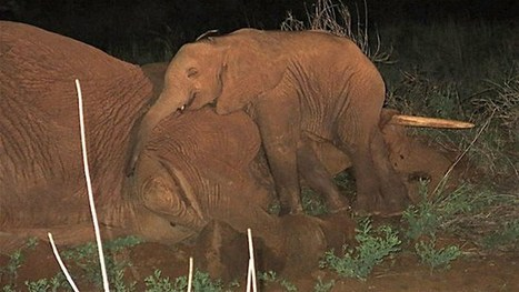 Orphaned elephant calf refuses to leave mother's side | The Fight for Elephant & Rhino Survival | Scoop.it