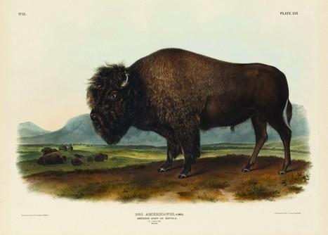 Jean-Jacques Audubon, peintre français du bestiaire Américain - France-Amérique | Nos Racines | Scoop.it
