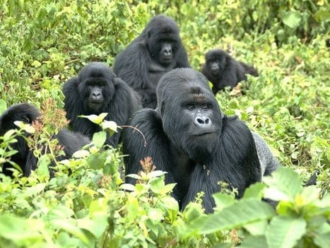 Mountain gorilla genome provides hope for animal's future | animals and prosocial capacities | Scoop.it