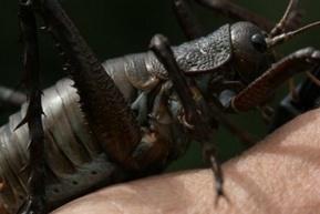 Weta un insecto gigantesco | Marine Pond Garden | Scoop.it