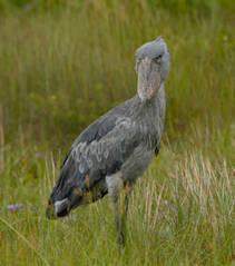 Kapotwe, une femelle oiseau bec-en-sabot sauvée et remise en liberté   Les oiseaux au gré du vent