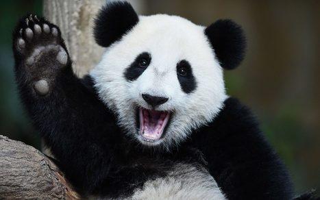 Giant Panda no longer endangered species, say conservationists | Focus on Biology | Scoop.it
