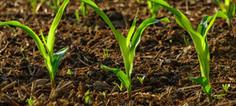 OGM : le maïs MON810 bientôt dans les champs de France ? | Ecologie Sans Frontière et l'actualité | Scoop.it
