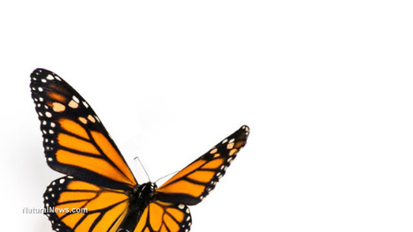 Migrating monarch butterfly population declined 94 percent in 17 years   Liberty Revolution   Scoop.it