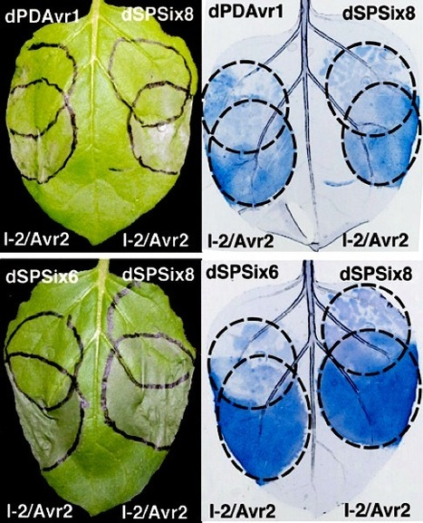 MPMI: The Fusarium oxysporum Effector Six6 Contributes to Virulence and Suppresses I-2-Mediated Cell Death (2014) | research on plant resistance gene for disease | Scoop.it