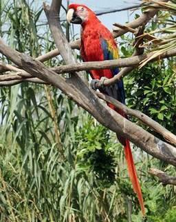 Impulsan conservación de guacamaya roja | Agua | Scoop.it