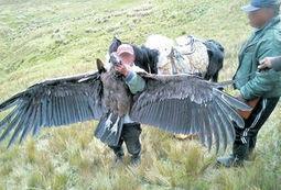 Cóndor cazado en Azuay era macho - El Comercio - El Comercio (Ecuador) | Animales en peligro de Extinción | Scoop.it