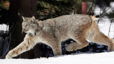 Surmortalité de lynx: malveillance ou météo? | Chronique d'un pays où il ne se passe rien... ou presque ! | Scoop.it