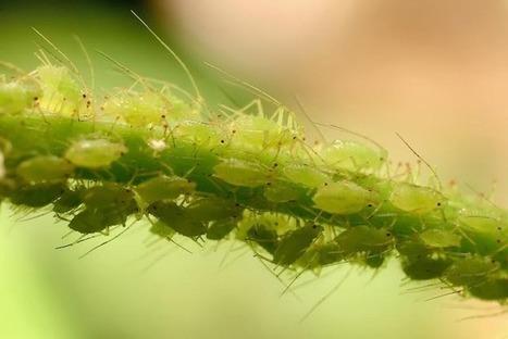 Non-Chemical Control of Plant Pests: Aphids | Aquaponics~Aquaculture~Fish~Food | Scoop.it