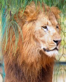 Endangered Namibian 'desert lion' shot dead - Conservationists | GarryRogers Biosphere News | Scoop.it