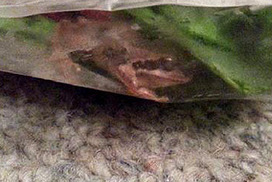 Woolworths customer hopping mad after frog allegedly found in bag of salad | Consumer, Commercial and Employment Law in Australia | Scoop.it
