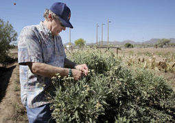 Tucson tech: Desert shrub guayule may be new major source of natural rubber | Arizona Daily Star | CALS in the News | Scoop.it