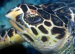 Costa Rican Experts Call for Cooperation to Ensure the Survival of the Hawksbill Turtle | All about water, the oceans, environmental issues | Scoop.it