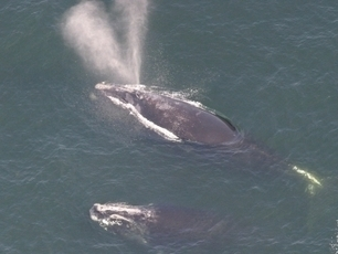 Federal Officials Enforce Ship Speed Limits To Protect Endangered Whales - GPB | Amocean OceanScoops | Scoop.it