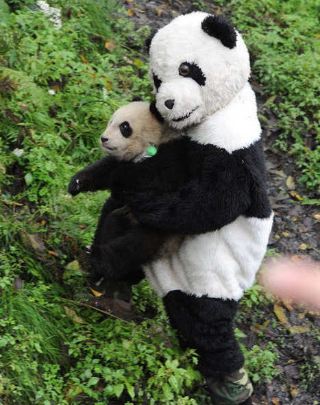 Workers wear panda costumes smeared with urine to release cub into the wild   No Such Thing As The News   Scoop.it