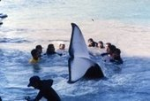 Marine Connection - Japan's tragic orca anniversary | Conservation & Environment | Scoop.it