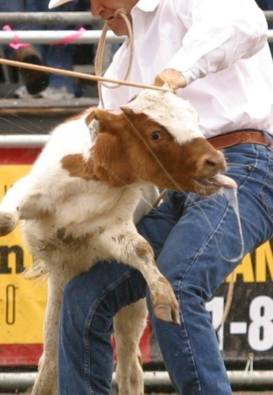 Please tell the Calgary Stampede to end calf-roping - Vancouver Humane Society | Vancouver Humane Society | Nature Animals humankind | Scoop.it