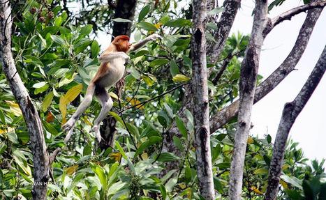 Photo 182   BEKANTAN -WILD INDONESIA   Bekantan - Wild Indonesia   Scoop.it