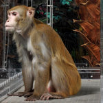 Low-Calorie Diet Doesn't Prolong Life, Study of Monkeys Finds | Amazing Science | Scoop.it