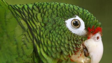 Scientists release endangered Puerto Rico parrots into wild | All Things Zygodactyl | Scoop.it