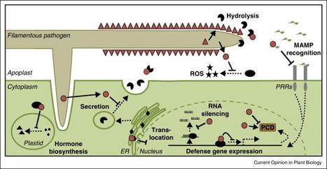Filamentous pathogen effector functions: of pathogens, hosts and microbiomes | Host-pathogen interaction | Scoop.it