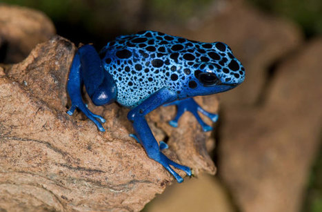 Poisonous Frogs Inspire De-icing Tech for Planes | Biomimicry | Scoop.it