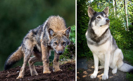 Perhon sudet: koiria vai susia – oikeus saa päättää | Riista-alan osaaja - koulutus | Scoop.it