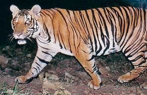 Tiger count goes up in Karnataka and Tamil Nadu: Wildlife Conservation Society ... - India Today | A Scoop At Ecological Issues | Scoop.it