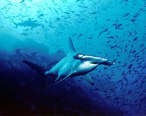 """Costa Rica says it will not protect any shark species of """"commercial interest"""" - Inside Costa Rica   Inside Costa Rica   All about water, the oceans, environmental issues   Scoop.it"""