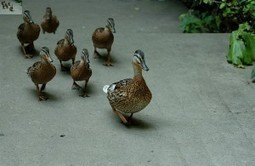 Irish Laughter Spot : How many Ducks? | TheMarketingblog | Reading, Writing, and Thinking | Scoop.it