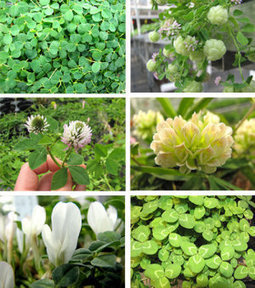 How repeatable is evolutionary history? 'Weakness' in clover genome biases species to evolve same trait | Tremblements de sciences | Scoop.it
