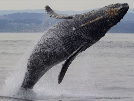 Drones fly through blow sprays of humpback whales for health checks | Discovery Project | Scoop.it