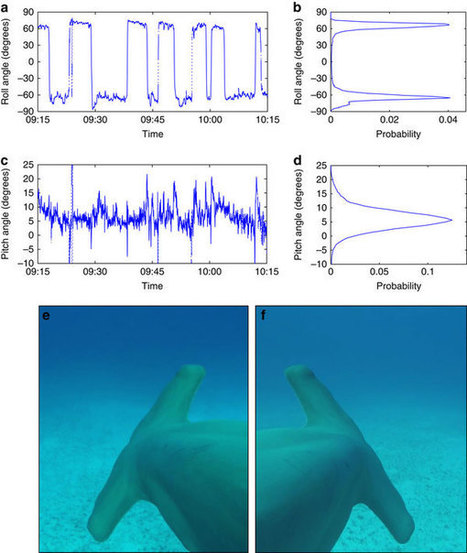 Great hammerhead sharks swim on their side to reduce transport costs | Amazing Science | Scoop.it
