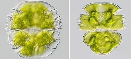 Plants crawled ashore earlier than thought – University of Copenhagen | Plant science | Scoop.it