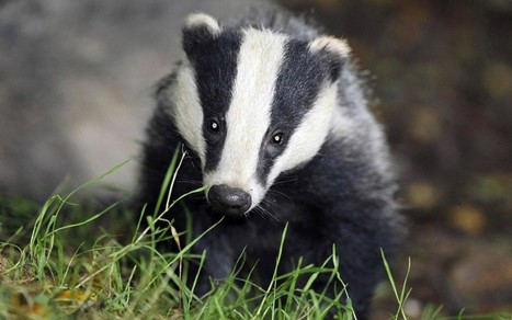 Supermarkets threatened with vandalism in campaign against badger cull - Telegraph | The Indigenous Uprising of the British Isles | Scoop.it