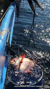 Warm-blooded #fish #traps its #ownheat in the deep via #exercise! | Rescue our Ocean's & it's species from Man's Pollution! | Scoop.it