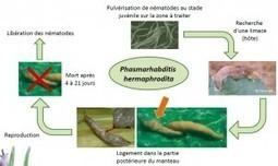 Gérer le risque limaces : entre méthodes de prévention et futurs moyens de lutte - Agro Perspectives | Graines de doc | Scoop.it
