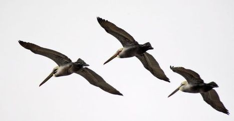 Survey finds brown pelicans aren't breeding | Sustain Our Earth | Scoop.it