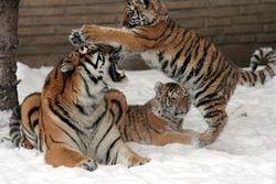 Le chien est-il le pire ennemi du tigre ?   Chronique d'un pays où il ne se passe rien... ou presque !   Scoop.it