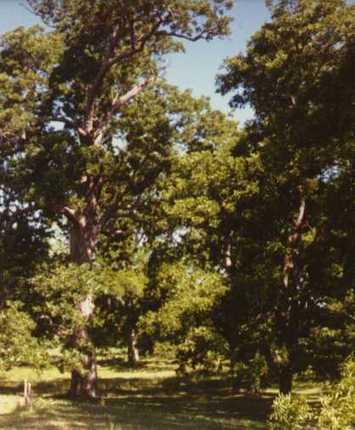 The Texas State Tree: Pecan   The Evolution of Calpurnia Tate   Scoop.it