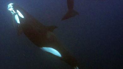 Des orques s'attaquent violemment à un requin-tigre sous les yeux de plongeurs | Dans mon sac de plouf | Scoop.it