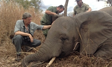 Elephant killings in Mozambique happening on 'industrialised' scale - The Guardian | Kruger & African Wildlife | Scoop.it