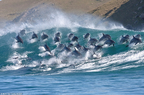 #Pod of 40 #dolphins Surf 8ft waves Near Port St Johns ~ #oceanlife ***   Rescue our Ocean's & it's species from Man's Pollution!   Scoop.it