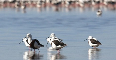 The banded stilt : Extreme nomad scrambles for shrimp bonanza | Aquascaping and Nature | Scoop.it