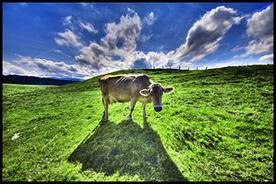 Montana 'Raw Milk' Bill Stirs Debate   Raw Milk   Scoop.it