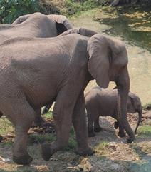 Poachers kill 41 elephants at Hwange - New Zimbabwe.com   Kruger & African Wildlife   Scoop.it