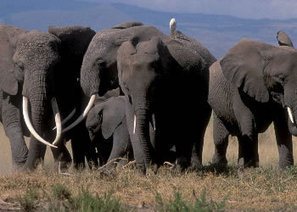 Wildlife Patrols Save Elephants in N. Tanzania | Wildlife Trafficking: Who Does it? Allows it? | Scoop.it