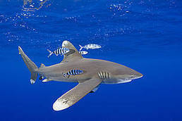 The fight to save threatened sharks and rays   Seas protections   Scoop.it